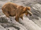 oso-pardo-pierde-a-su-presa