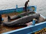 ecologia-japon-ballena