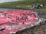 ecologia-matanza-ballenas-feroe