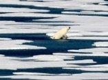 ecologia-oso-polar-deshielo