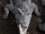 cocodrilo-caiman