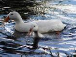 patos-blancos