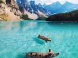 cerdo-puercos-nadando-naturaleza