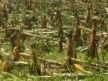 El azote del huracán Gustav a la Isla de la Juventud provocó afectaciones en la agricultura y el cultivo del plátano sufrió grandes pérdidas el 30 de agosto de 2008. AIN FOTO/Roberto D͍AZ MARTORELL