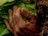 Manos de campesino cultivando Tabaco.Foto: Ismael Francisco/ Cubadebate.