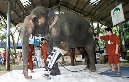 adult-elephant-prosthetic-425ds082009