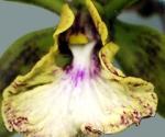 orquidia-camagueyana