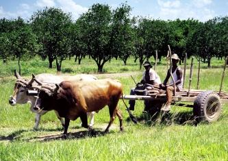 Diario Granma afirma que exceso de personal improductivo es uno de los males de la Agricultura cubana
