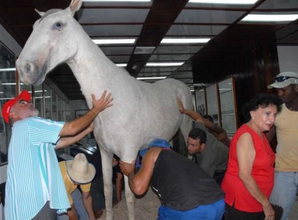 Momento en que el caballo de Camilo era retirado del interior del Museo para llevarlo hasta su nuevo stand, en Yaguajay, SAncti Spíritus, Cuba, el 21 de octubre de 2009. AIN/ FOTO Oscar ALFONSO SOSA