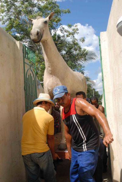 Trabajadores del Museo trasladan hasta su nuevo stand el caballo utilizado por Camilo en la cabalgata campesina desde Yaguajay hasta La Habana para conmemorar el primer 26 de Julio después del triunfo de la Revolución, en Yaguajay, Sancti Spíritus, Cuba, el 21 de octubre de 2009. AIN/ FOTO Oscar ALFONSO SOSA