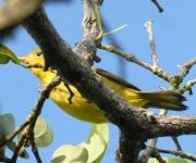 Canario de manglar