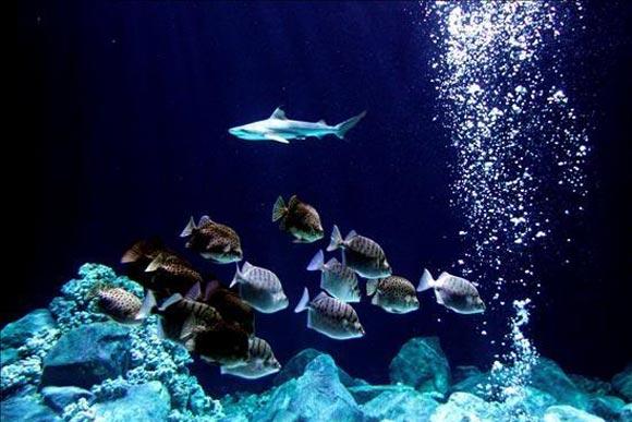 Un ejemplar de tiburón de puntas negras