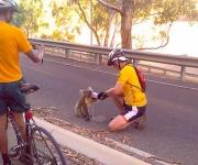 Calentamiento Global afecta a Koalas en Autralia