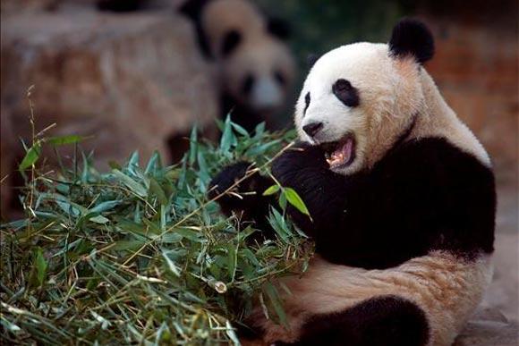 Un panda gigante come bambú en el Zoo de Pekín