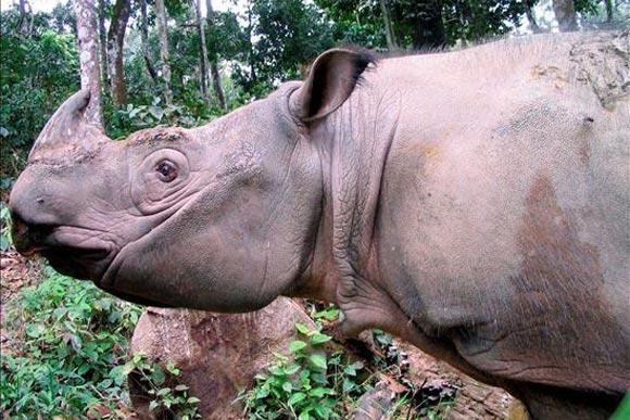 Un rhinocéros rare capturé en Indonésie