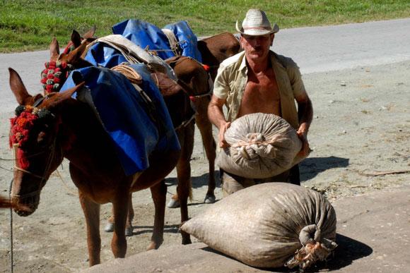 Cafetalero de la zona montañosa del Escambray traslada parte de su cosecha de café en árrea de mulos.