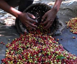 Muestra de la recolección del café en la zona montañosa del Escambray.