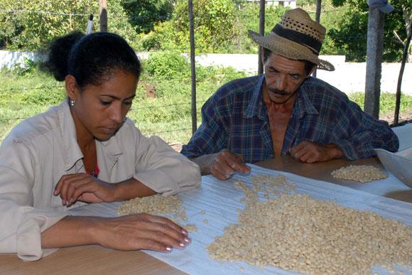Trabajadores de la planta de beneficio del café en Jibacoa, laboran en la escogida del grano de alta calidad para la siembra de las posturas. (AIN)