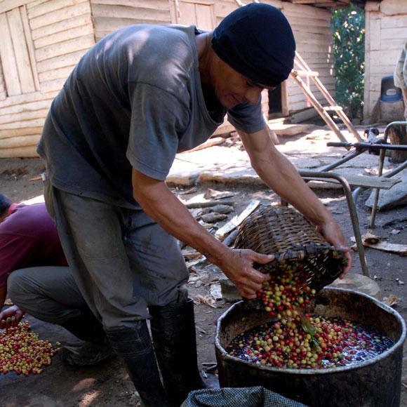 Campesino en la selección de la producción de café acorde a la calidad del grano. (AIN)