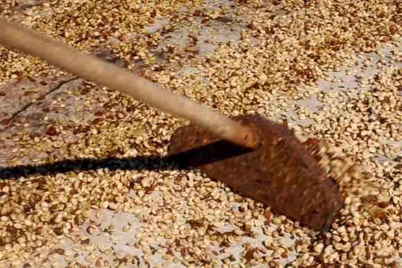 Café en proceso de secado en la planta de beneficio del café en Jibacoa. (AIN)