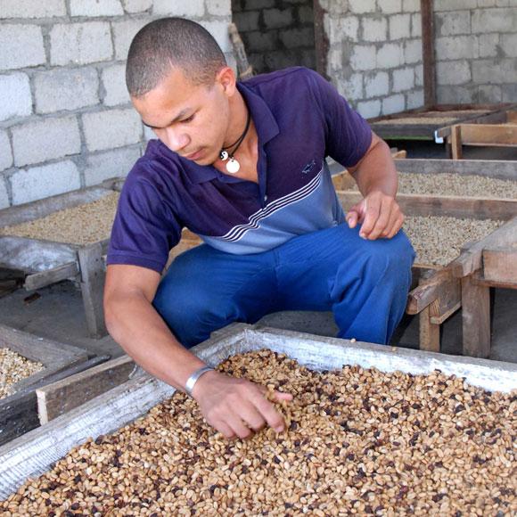 Trabajador de la planta de beneficio del café en Jibacoa, en la escogida del grano de alta calidad, para la siembra de las posturas. (AIN)
