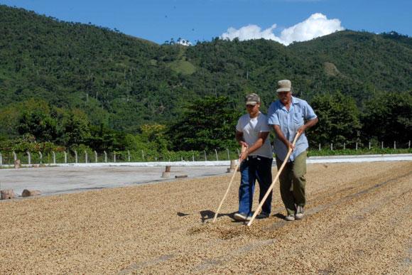 Obreros en el tratamiento de secado del café en la planta de beneficio de Jibacoa. (AIN)