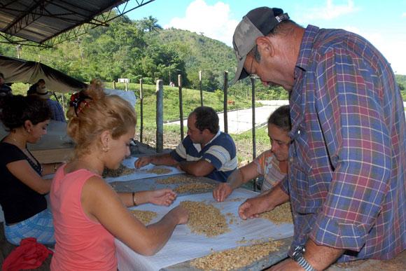 Trabajadores de la planta de beneficio del café en Jibacoa, laboran en la escogida del grano de alta calidad, para la siembra de las posturas. (AIN)