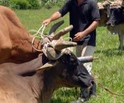 Bueyero durante su labor cotidiana en las faenas de la agricultura
