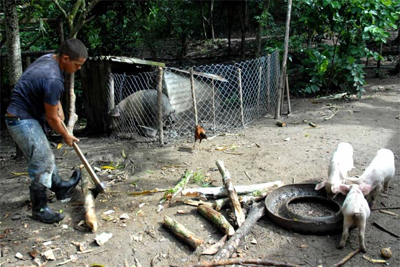 Habitante del Escambray prepara la leña para la elaboración de los alimentos de los animales