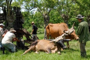 Bueyeros durante sus labores cotidianas en las faenas de la agricultura en el centro de la isla