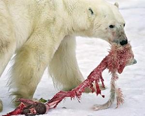 El cambio clímático hace escasear los recursos alimentícios de los osos polares del ártico y algunos recurren al canibalismo. Foto: REUTERS/ LAIN D. WILLIAMS