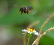 Abeja en la flor de romerillo blanco