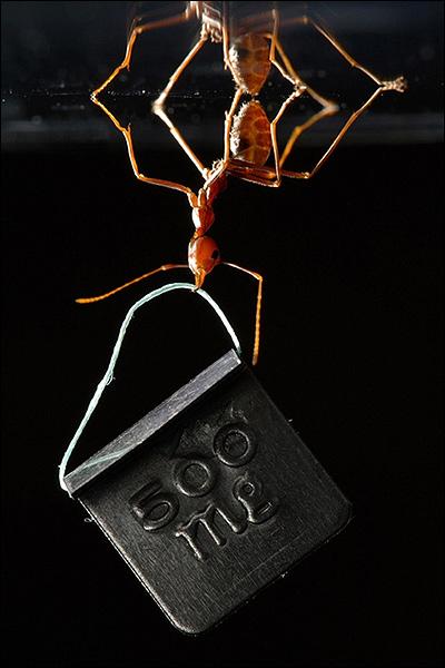 hormiga-forzuda