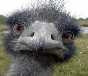 Reproducción exitosa de avestruces en Baracoa
