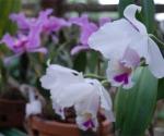 Orquídeas en el Orquideario de Soroa en Pinar del Río, uno de los sitios de visita obligada por su belleza. AIN Fotos: Abel Padrón Padilla