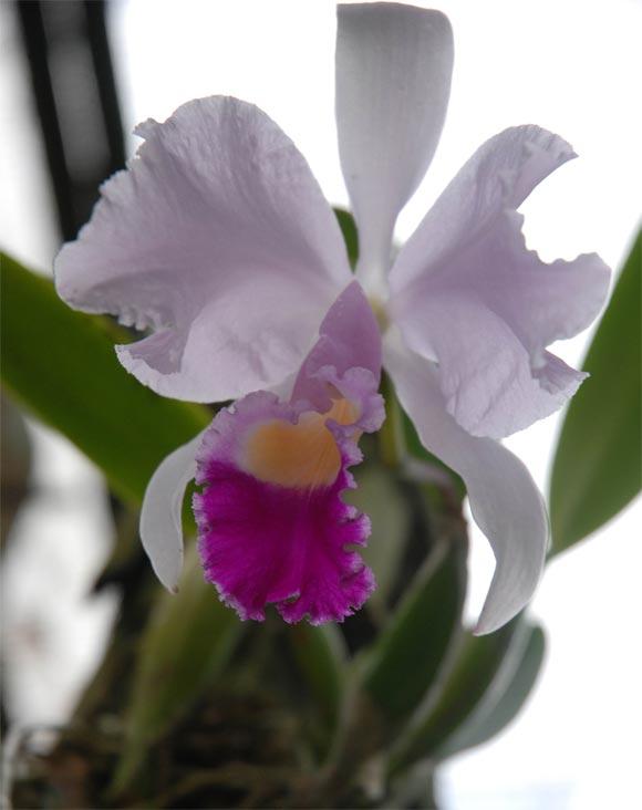Orquídea en el Orquideario de Soroa en Pinar del Río, uno de los sitios de visita obligada por su belleza. AIN Fotos: Abel Padrón Padilla