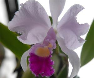 Agosto, mes de profusa floración de orquídeas cubanas