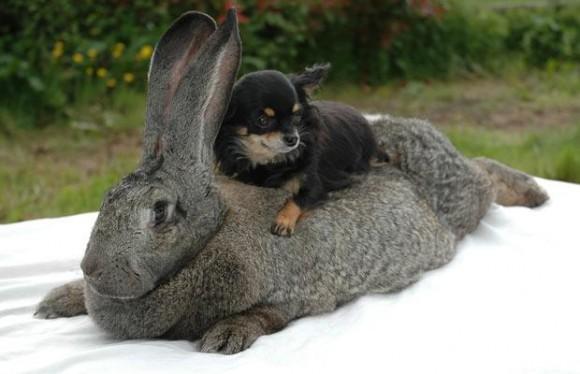 conejo-gigante