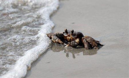 """Vista de un cangrejo afectado por el vertido del pozo """"Deepwater Horizon"""" en Grand Terre Island, cerca de Grand Isle (Luisiana, golfo de México, Estados Unidos). Foto: EFE/Tannen Maury"""