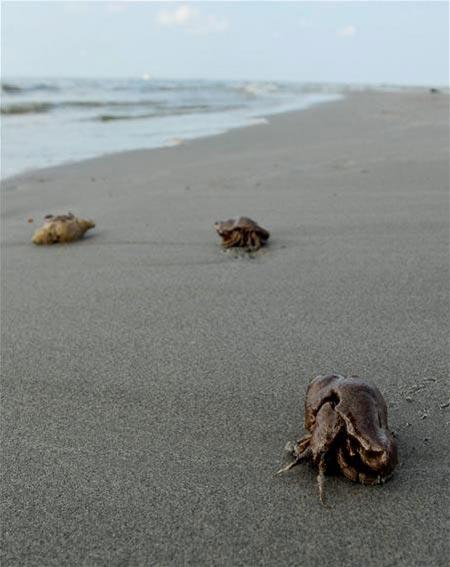 """Vista de unos cangrejos ermitaños afectados por el vertido del pozo """"Deepwater Horizon"""" en Grand Terre Island, cerca de Grand Isle (Luisiana, golfo de México, Estados Unidos). Foto: EFE/Tannen Maury"""