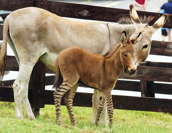 """Un """"cebrurro"""" _una insólita cruza de un burro y una cebra_ de cuatro días de nacido, se mantiene de pie junto a su madre en la Reserva Chestatee de vida silvestre en Dahlonega, Georgia, el lunes 26 de julio de 2010. (Foto AP/The Times, Tom Reed)"""