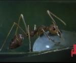 hormiga-bebiendo-agua