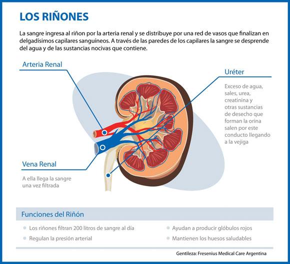Infografía del Riñón