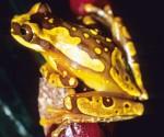 Anfibios. Sapo dorado