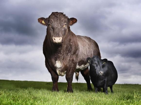 La Vaca más pequeña del Mundo