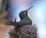 El Zunzún, cuyo nombre científico es Chlorostilbon Ricordii, pertenece a la familia de los colibríes, constituye una especie de ave originaria del continente americano y está entre los pájaros más pequeños que existen en el mundo. Cienfuegos. AIN Foto: Modesto GUTIÉRREZ CABO