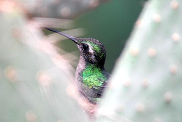 Zunzún Cubano durante el cuidado de su nido, en la hoja espinosa de una planta de cactus, en Cienfuegos. Foto: Modesto Gutiérrez Cabo / AIN