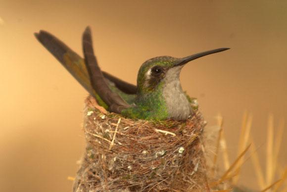 El Zunzún, cuyo nombre científico es Chlorostilbon Ricordii, pertenece a la familia de los colibríes, constituye una especie de ave originaria del continente americano y está entre los pájaros más pequeños que existen en el mundo. Cienfuegos. Foto: Modesto Gutiérrez Cabo / AIN