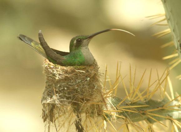 El Zunzún tiene su lengua larga, puede ser extendida en gran medida, lo que le permite chupar el néctar con facilidad. Cienfuegos. Foto: Modesto Gutiérrez Cabo / AIN