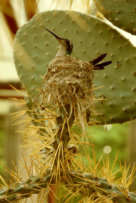 Zunzún Cubano o Chlorostilbon_Ricordii, mientras anida en la hoja espinosa de una planta de cactus, en Cienfuegos. Foto: Modesto Gutiérrez Cabo / AIN